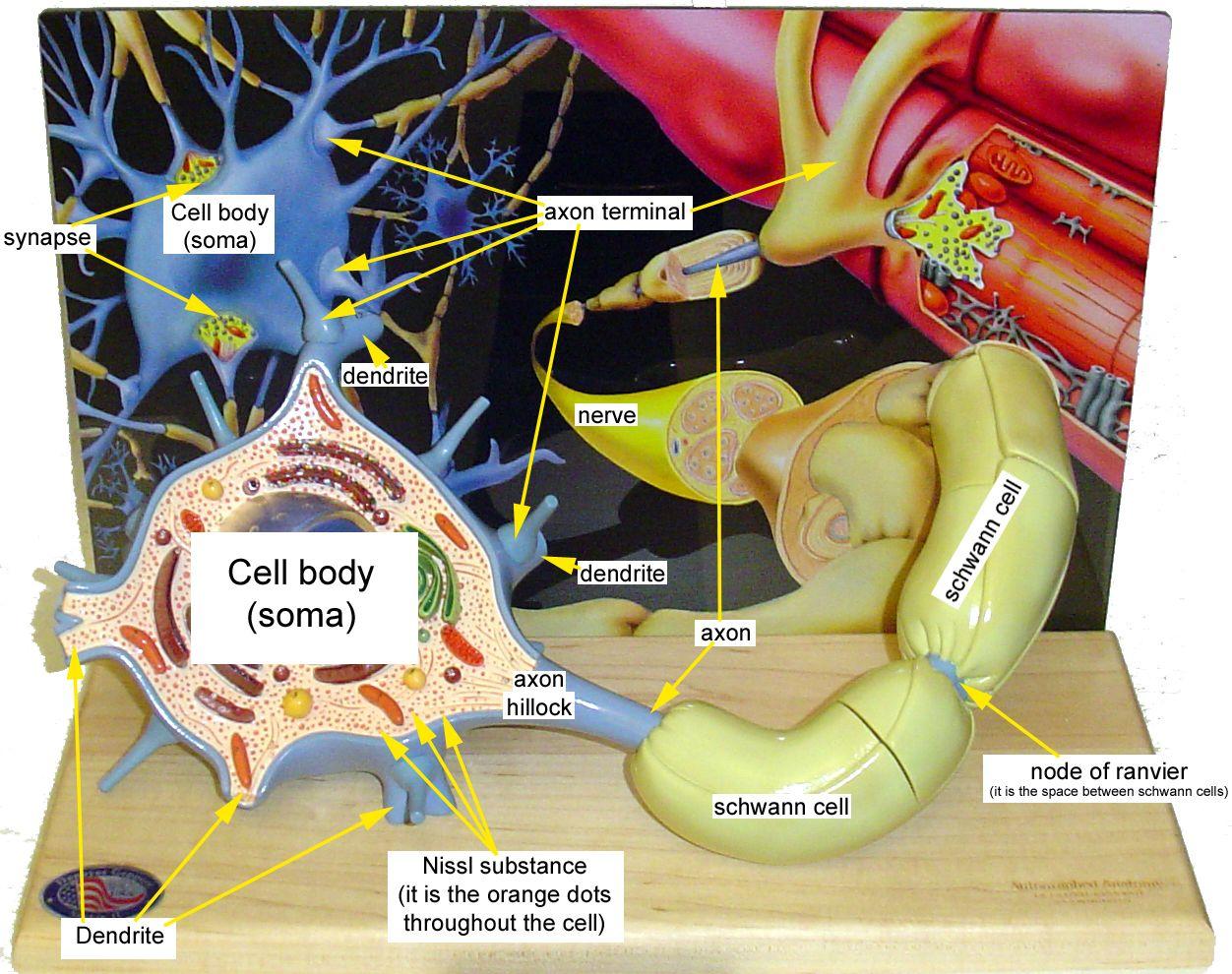 medium resolution of neuron model bing images