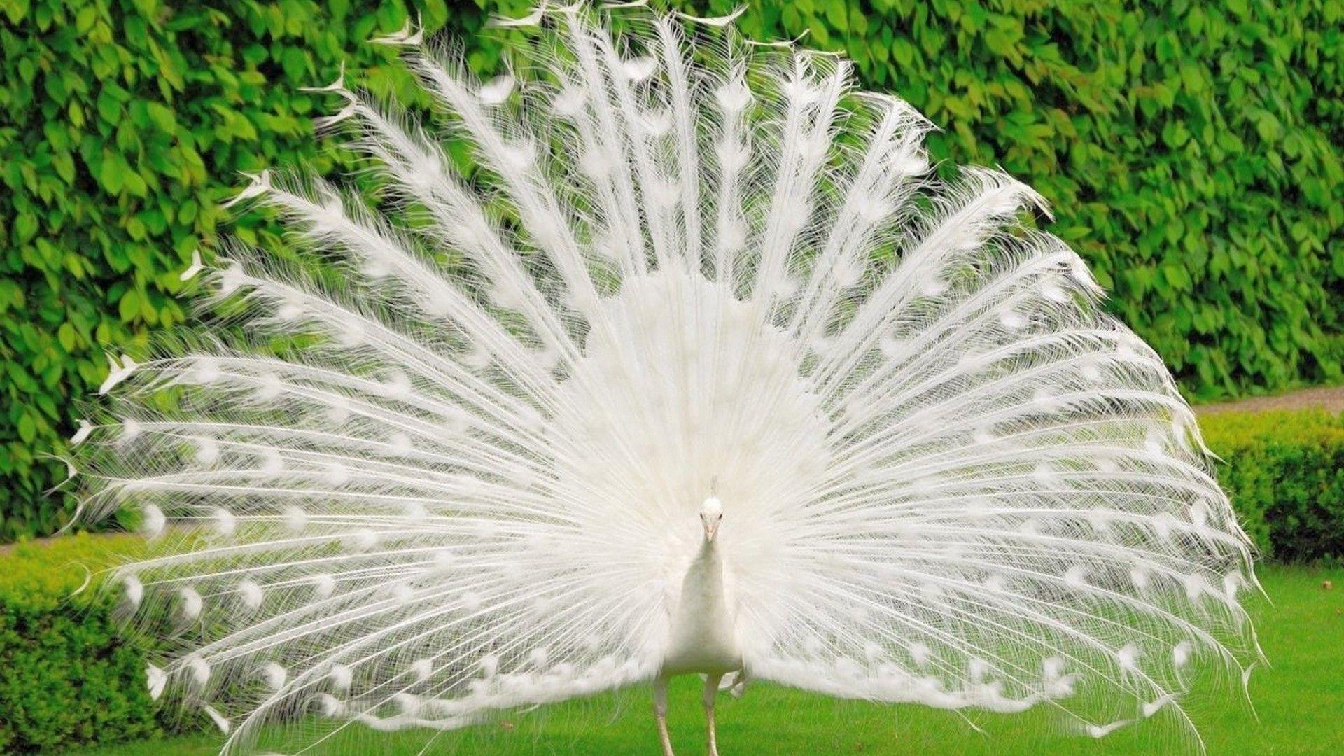 White Peacock Wallpaper Hd 2021 Live Wallpaper Hd Beautiful Birds White Peacock Peacock Wallpaper