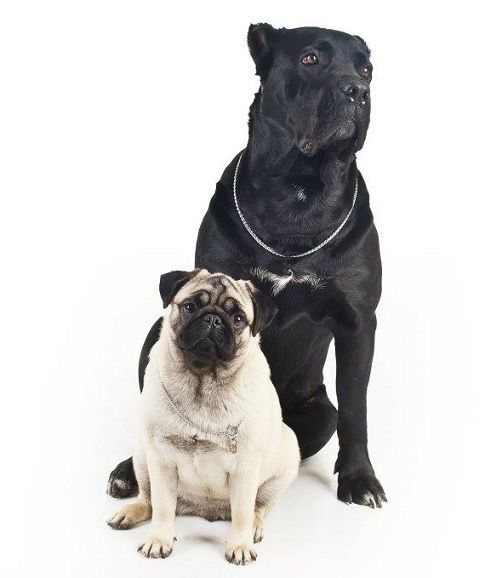 Pug Cane Corso Max And Vinny Heheh Cane Corso Italian Dogs