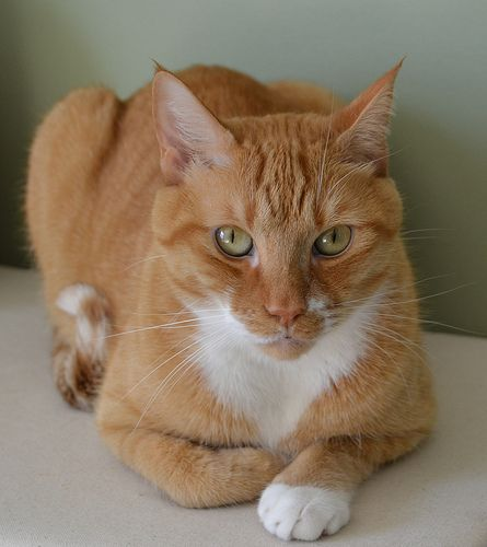 Official Cats Of The United States White Tabby Cat Tabby Cat Orange Cats