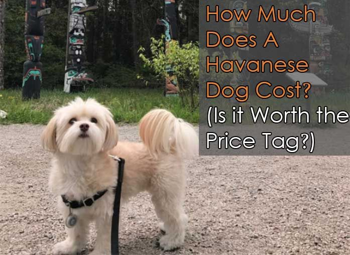 How Much Does A Havanese Dog Cost Is It Worth The Price Tag