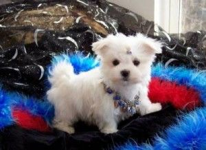 Amazing Teacup Maltese Puppies Kirksville Mo Asnclassifieds