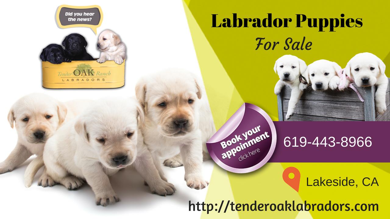 Lovely Breeding White Labradors Puppies Labrador Puppy Labrador Puppies For Sale White Labrador Puppy