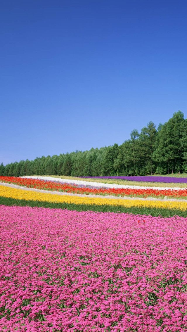 Flowers Garden Pink Blooming Flowers Spring Photography Tulips