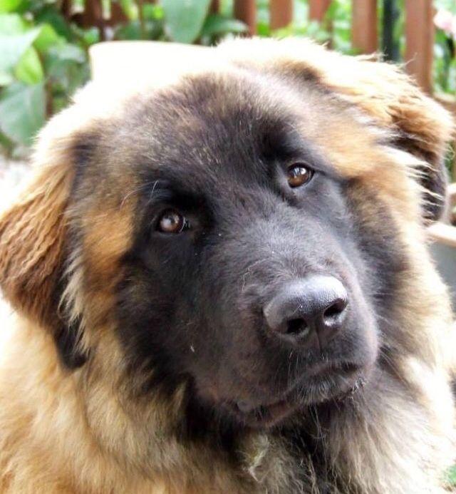 Pin Von Karsta Auf Leonberger Hunderasse Hunde Rassen Hunde Hunderasse