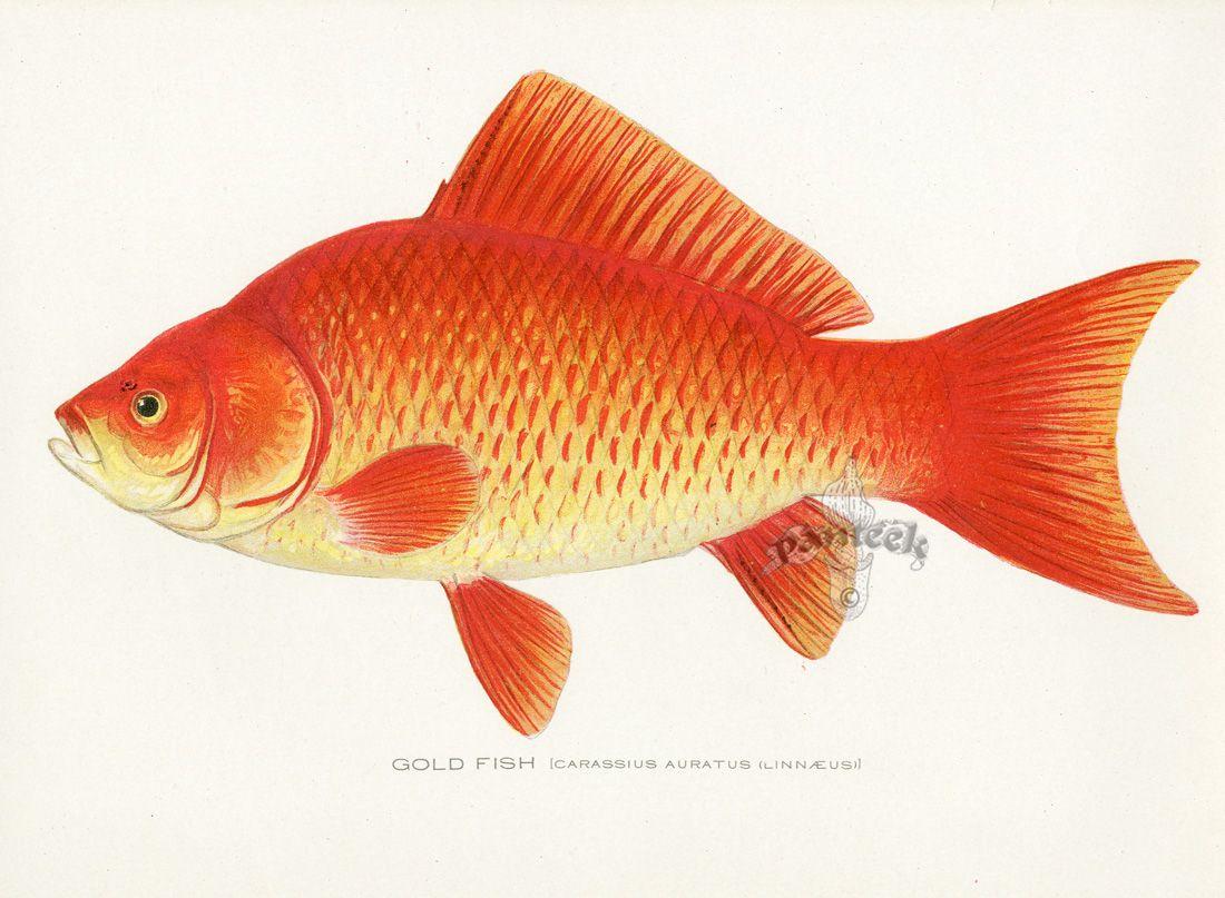 Denton Fish Prints 1895 | La Mer | Pinterest | Fish, Prints and Fish art