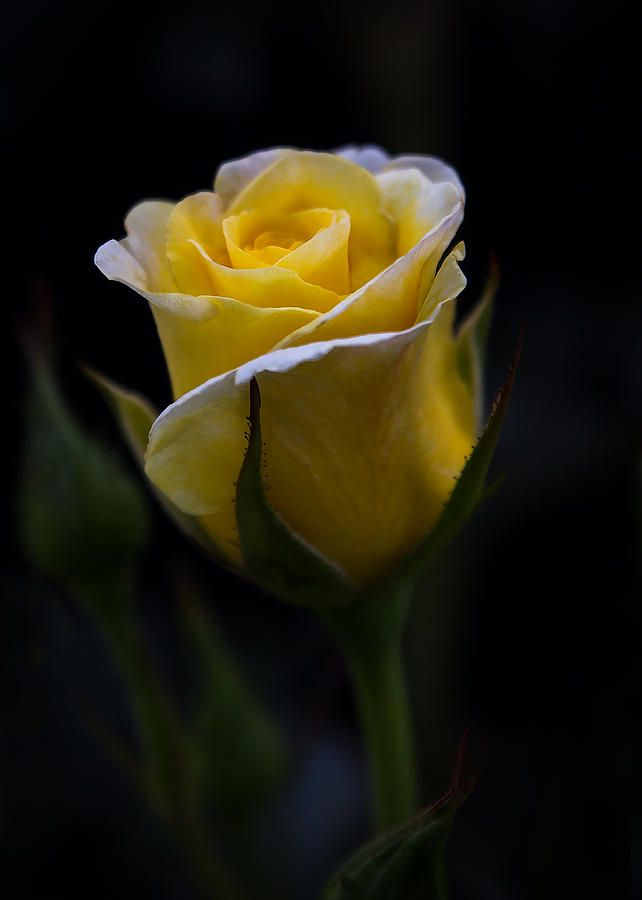Single Yellow Rose Yellow Roses Beautiful Flowers Pictures Rose