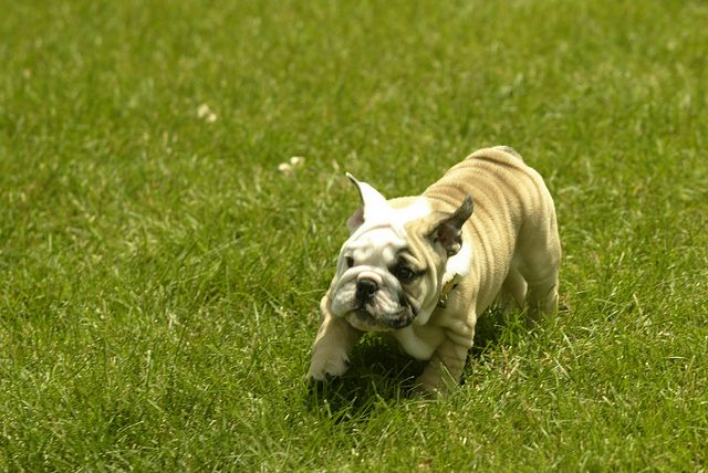 Blue Ii At 10 Weeks 038 Bulldog Mascot Butler Bulldogs Blue