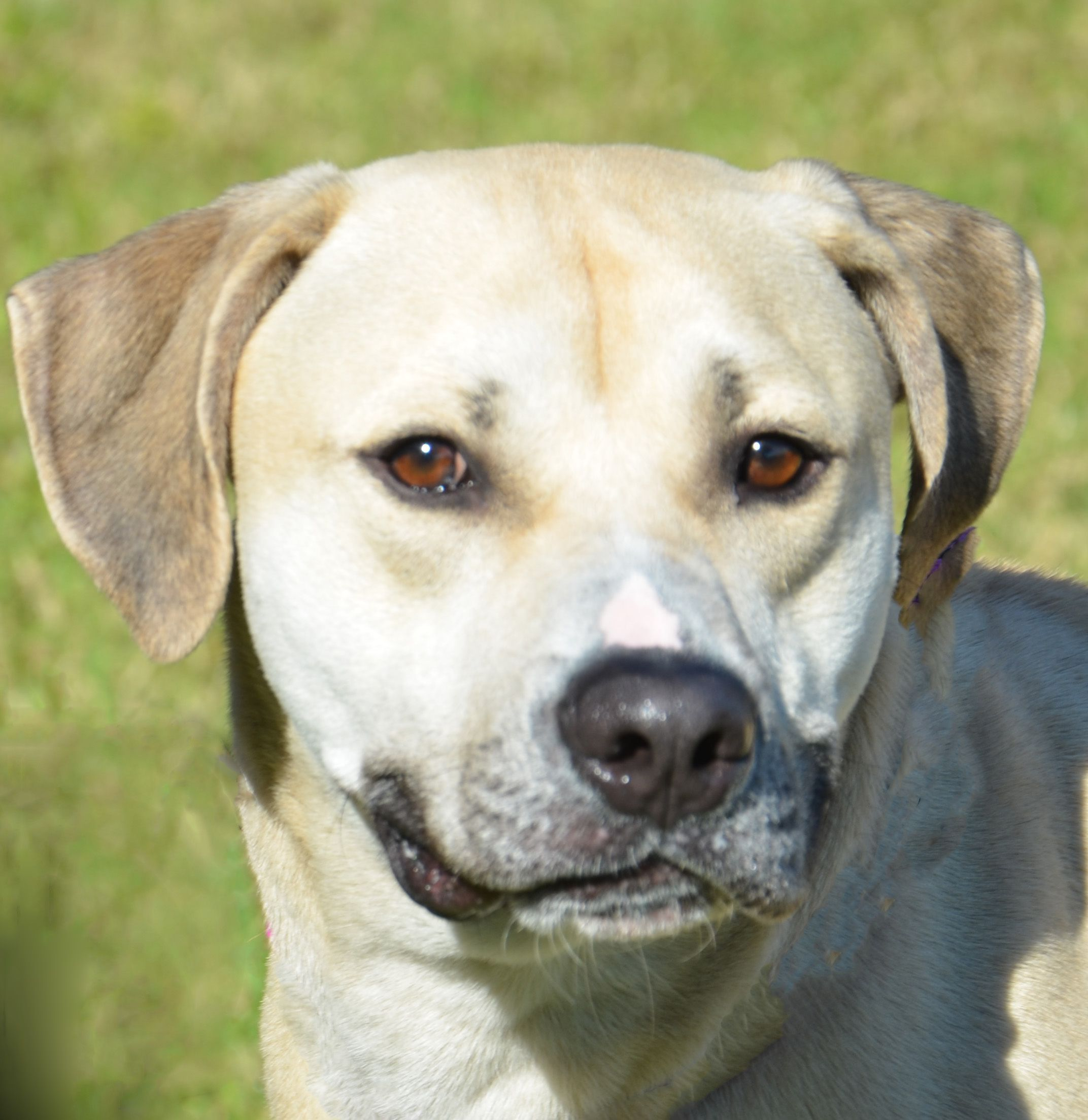 Black Mouth Cur dog for Adoption in Englewood, FL. ADN