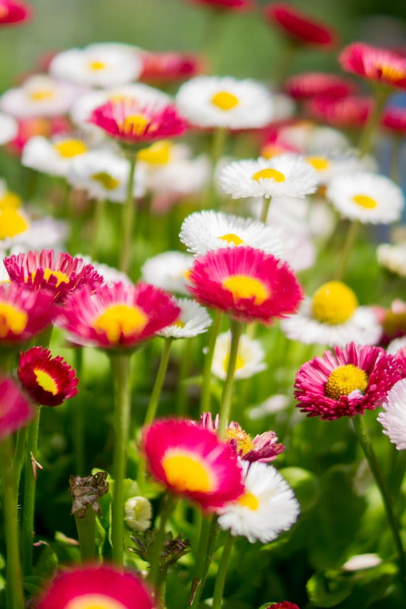 A free stock photo of a lawn with colorful flowers desktop