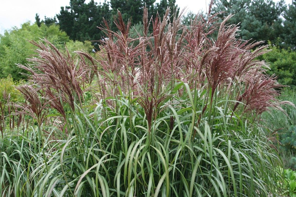 miscanthus sinensis 39 malepartus 39 planting pinterest. Black Bedroom Furniture Sets. Home Design Ideas