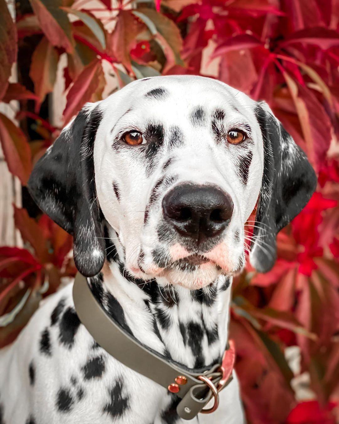 Autumn is here #hound #dogoftheday #dogsofinstagram #ilovemydog #instagramdogs #dalmatianpuppy #dalmatian #pets...