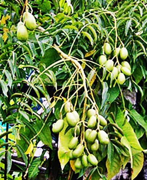 Buah Kedondong or Great Hog Plum Fruits vegetables you probably