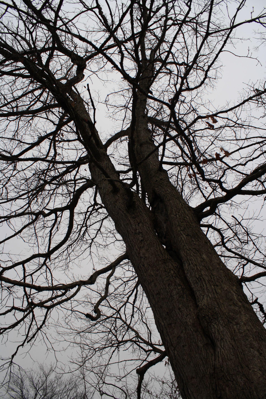 an old dead creepy tree in my backyard dead trees pinterest