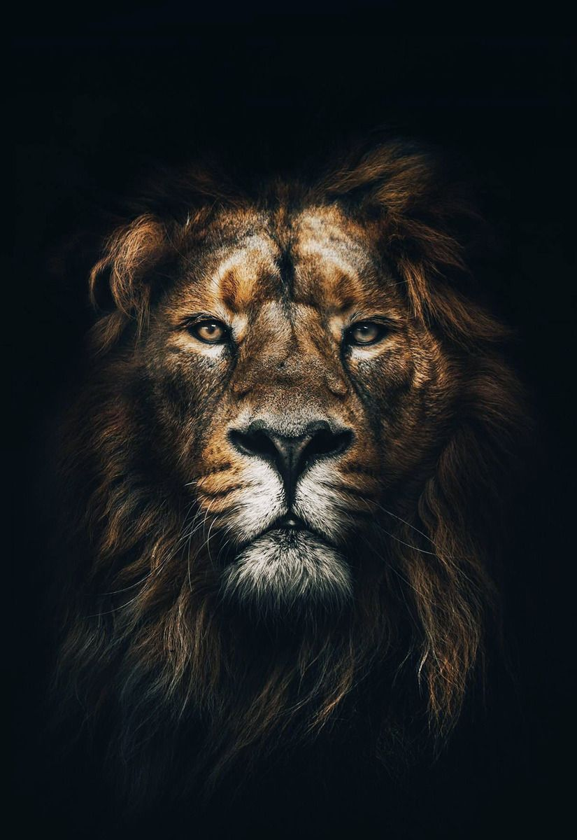 BLACK & BLUE — King Animal wallpaper, Lion wallpaper, Lion