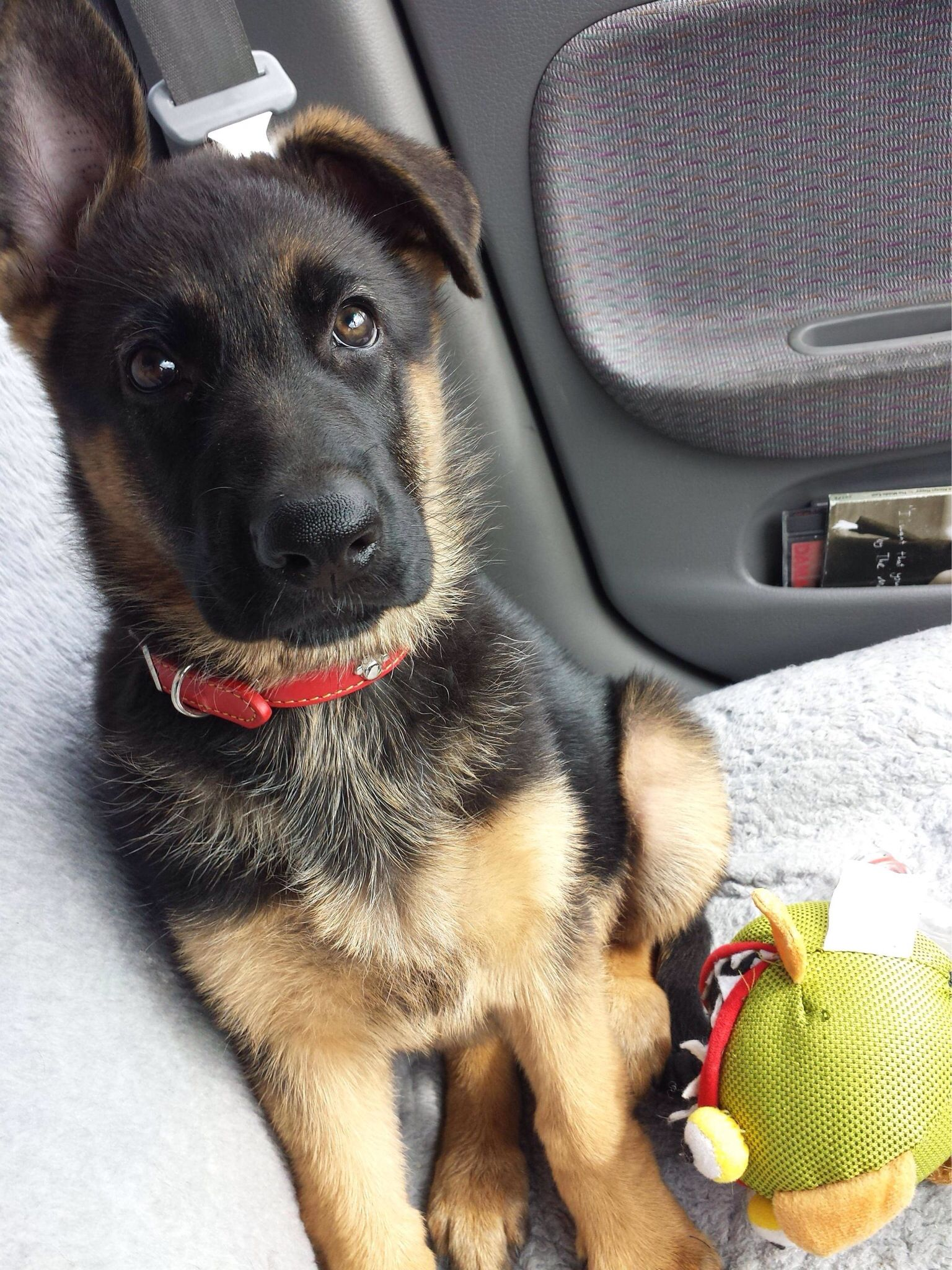 german shepherd puppy!