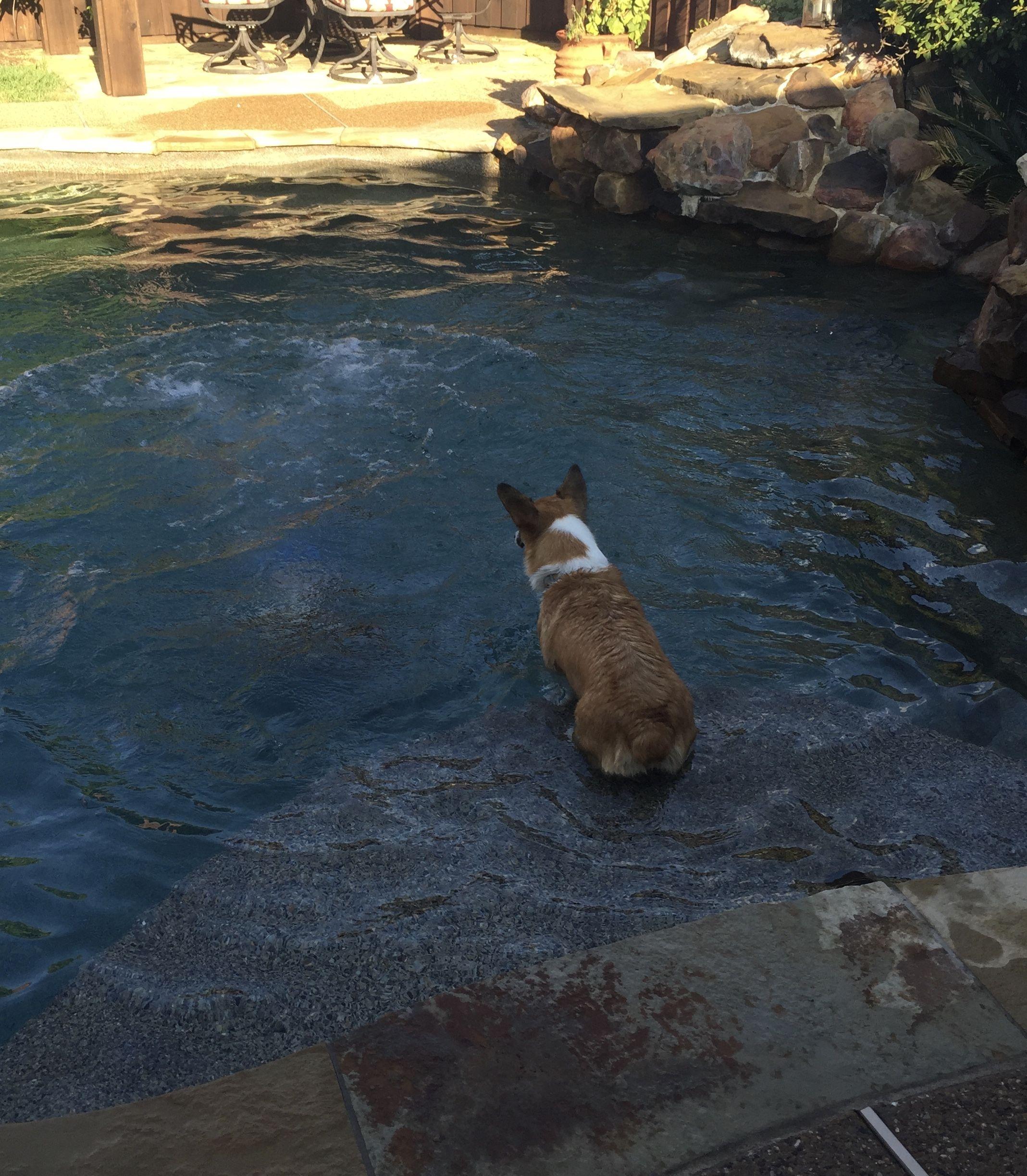 Cowboy Corgi Puppies For Sale In Texas Ideas
