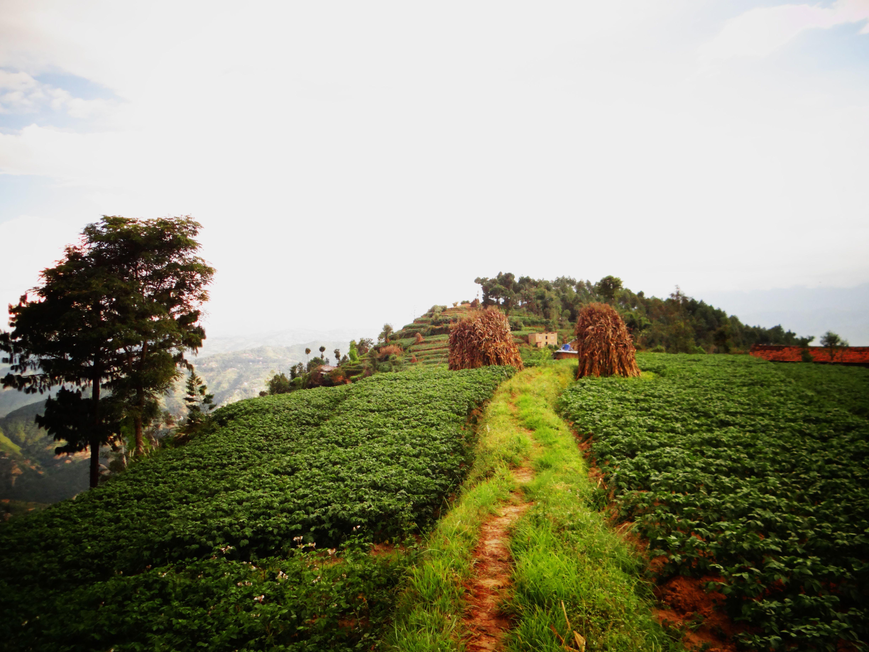 Potato fields on a hilltop near Dhulikhel