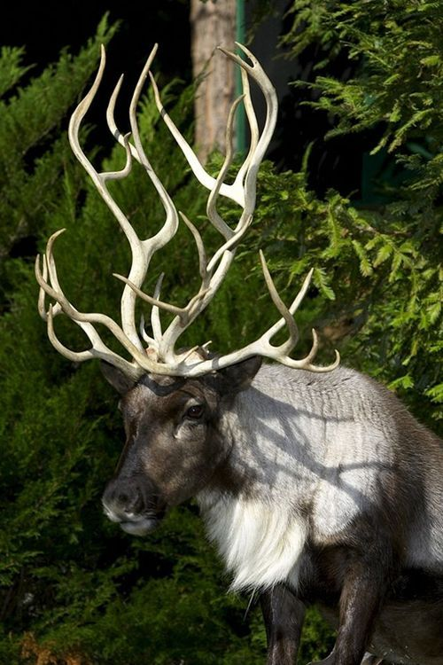 Reindeer with abnormal antlers