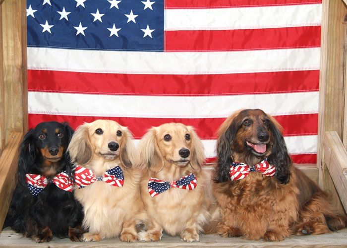 Dachshunds With American Flag Happy 4th Of July Patriotic Pets