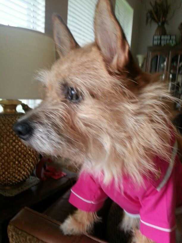Whispies Cairn Terrier Terrier Cairns