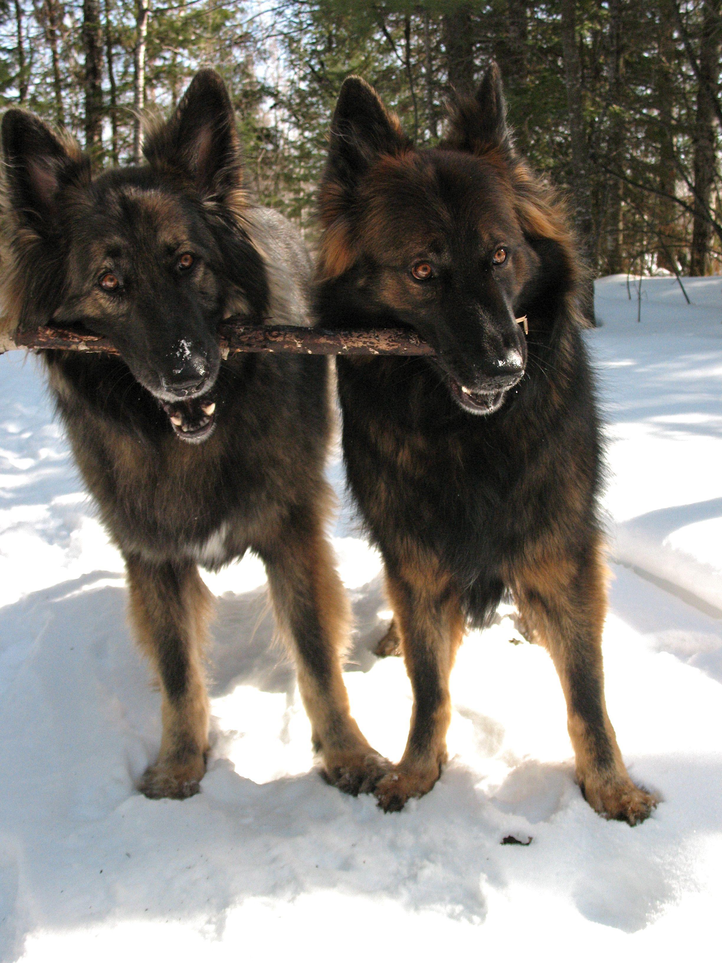 Vito And Lucia German Shepherds German Shepherd Dogs Shepherd Dog Dog Life
