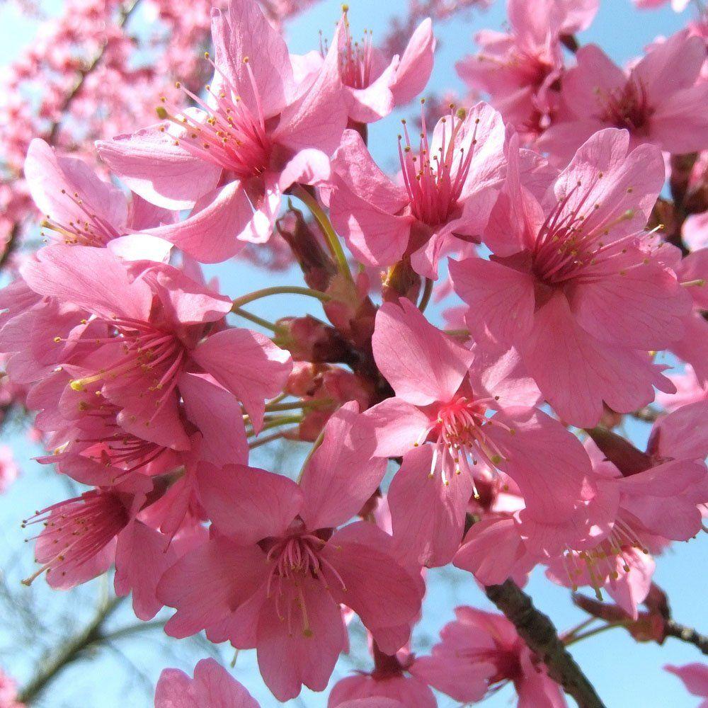 Prunus 'Collingwood Ingram' Tree Flowering cherry tree