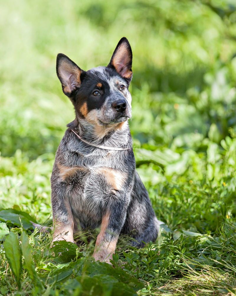 Blue Heeler Blue Heeler Heeler Puppies Blue Heeler Puppies