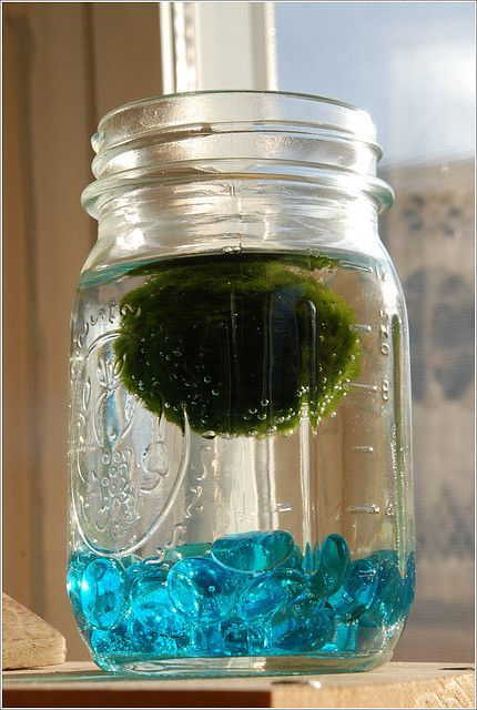 Feivel the Marimo in his water terrarium Marimo moss