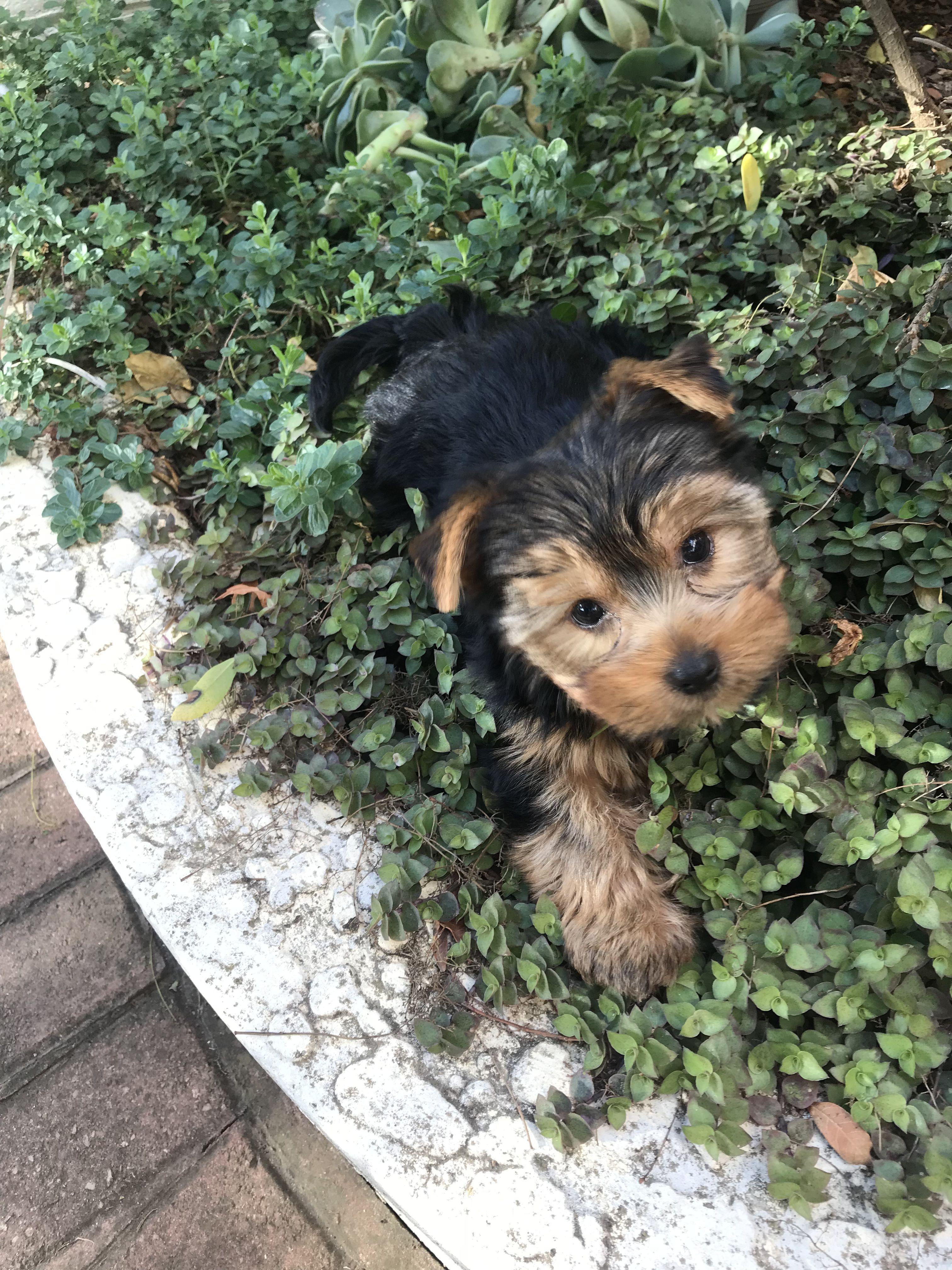Yorkshire Terrier Puppy Yorkshireterrierpuppy Yorkshire Terrier Puppies Yorkshire Terrier Puppy Yorkie Yorkshire Terrier Dog