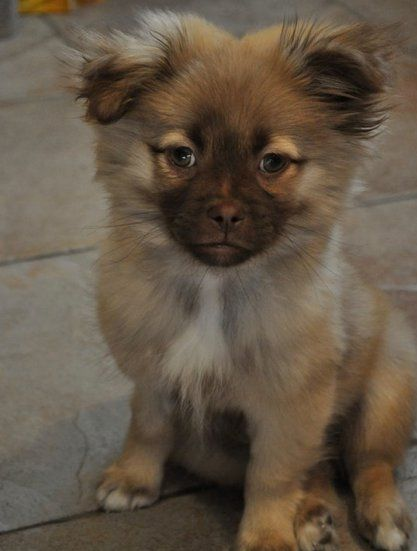 My Puppy Oliver Pomeranian Shih Tzu Mix Cute Cats And Dogs Animals Friends Designer Dogs