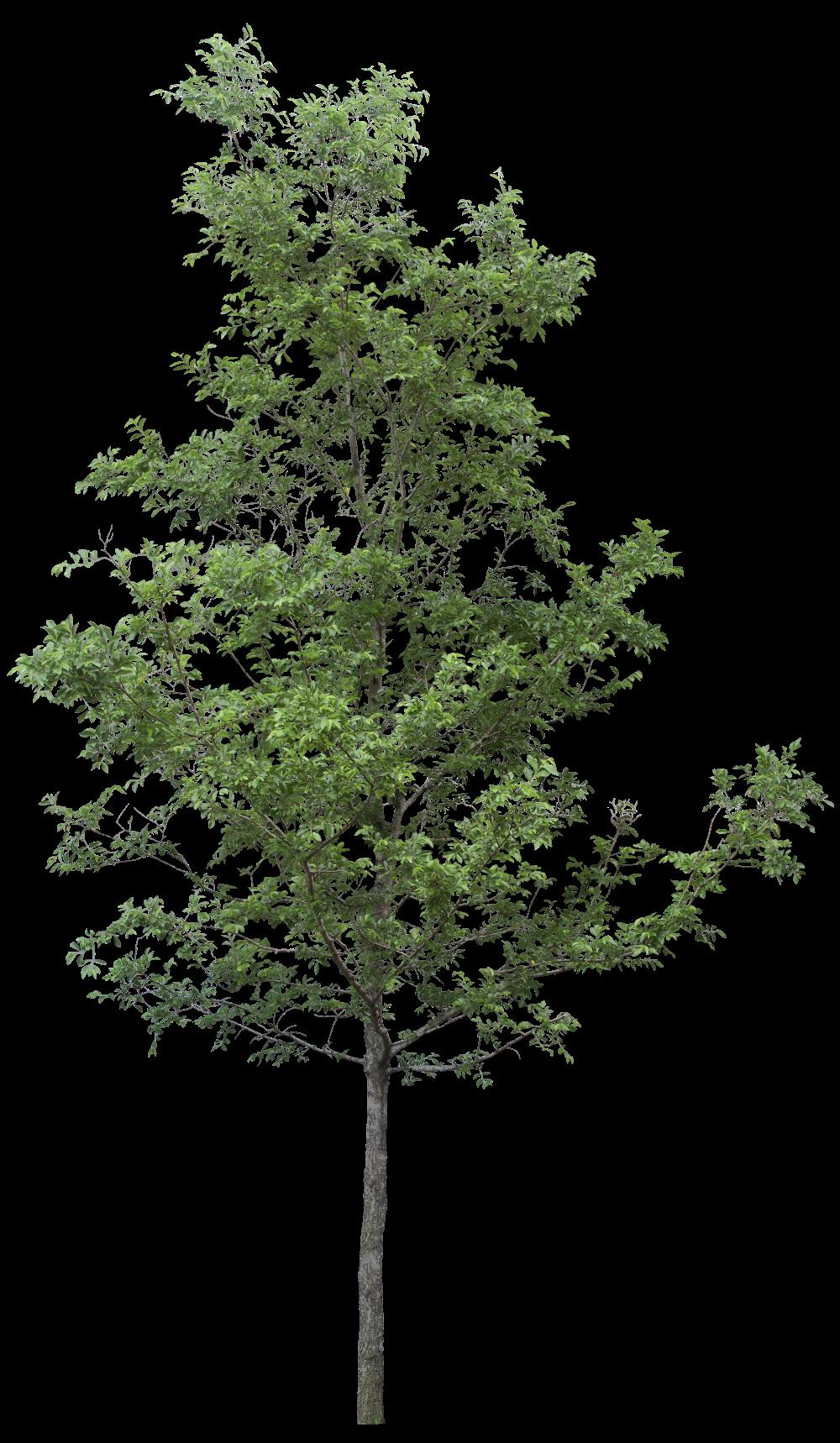 Pin By Richardson Garden Saleswomen On Tree Png Tree Photoshop Tree Drawing Tree Psd