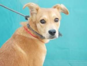 Shane Beagle Dog For Adoption In Seattle Wa Dogs For