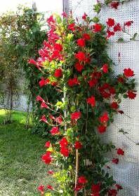Sundaville Uprawa I Pielegnacja Diy Garden Container Gardening Mandevilla Vine