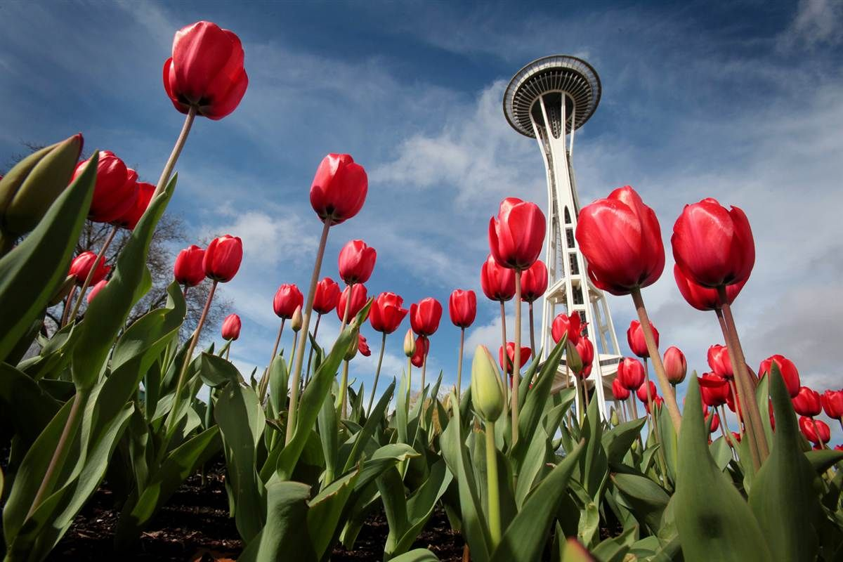 #ridecolorfully among tulips beneath the Space Needle in ...