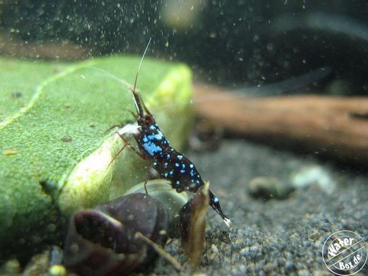 caridina dennerli aquascaping pinterest aquariums