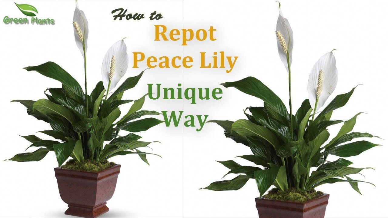 Peace Lily How To Grow Repot Peace Lily Unique Way Peace Lily Ca Peace Lily Lily Care Peace Lily Care
