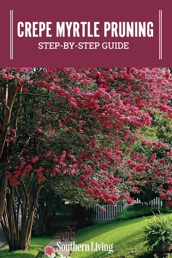 Crepe Myrtle Pruning Step By Step Crepe Myrtle Landscaping Tips Texas Gardening