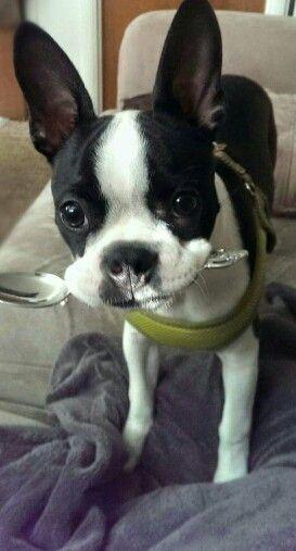 Baby Bruce Boston Bull Terrier Boston Terrier Dog