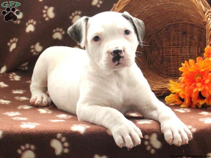Tianna American Bulldog Puppy For Sale In Pennsylvania