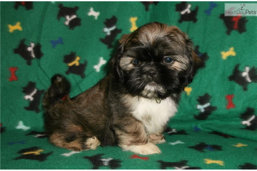Imperial Boy Home Raised Spoiled Potty Trained Shih Tzu Puppy For Sale Near Springfield Missouri 7a6c0c8b 0431 4 The Kids Shih Tzu Puppy Shih Tzu