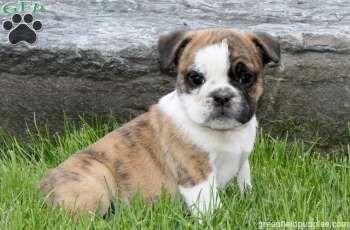 Charlie Miniature Bulldog Puppy For Sale In Pennsylvania