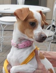 Daisy Is An Adoptable Jack Russell Terrier Dog In Reno Nv Daisy
