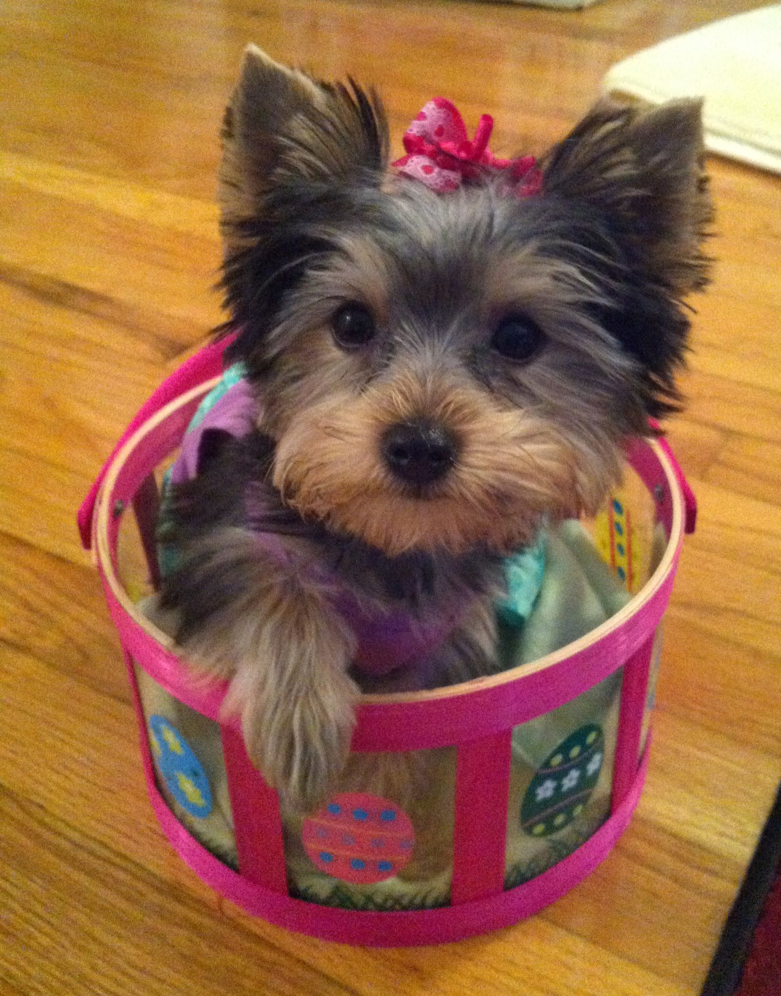 Happy Easter Sophia Yorkie Cute Small Dogs Teacup Yorkie Puppy Yorkie Puppy