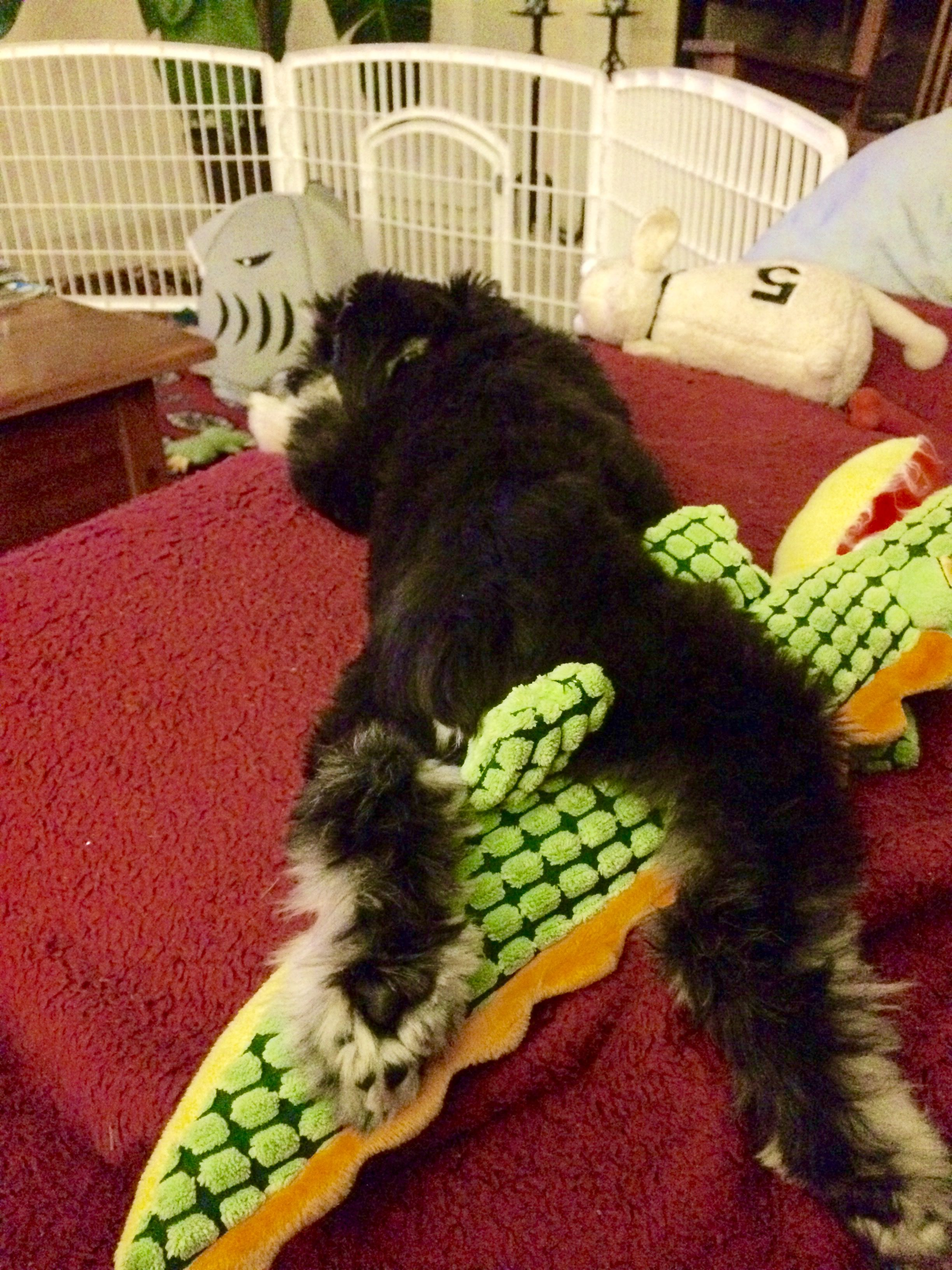 Having conquered lambie and gator, Remy eyes Sharkey, the final prey of the evening.