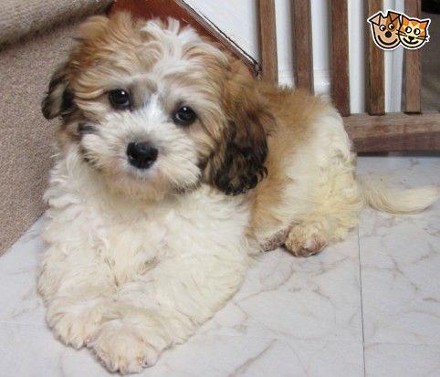 Maltese X Shih Tzu Cute Fluffy Dogs Fluffy Dogs Terrier Breeds