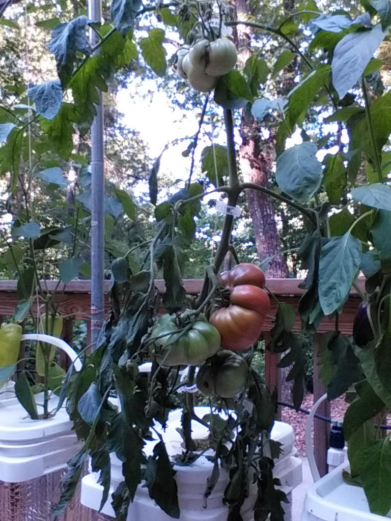 Cherokee Purple Tomatoes Are Ripening Up My Hydroponic 400 x 300