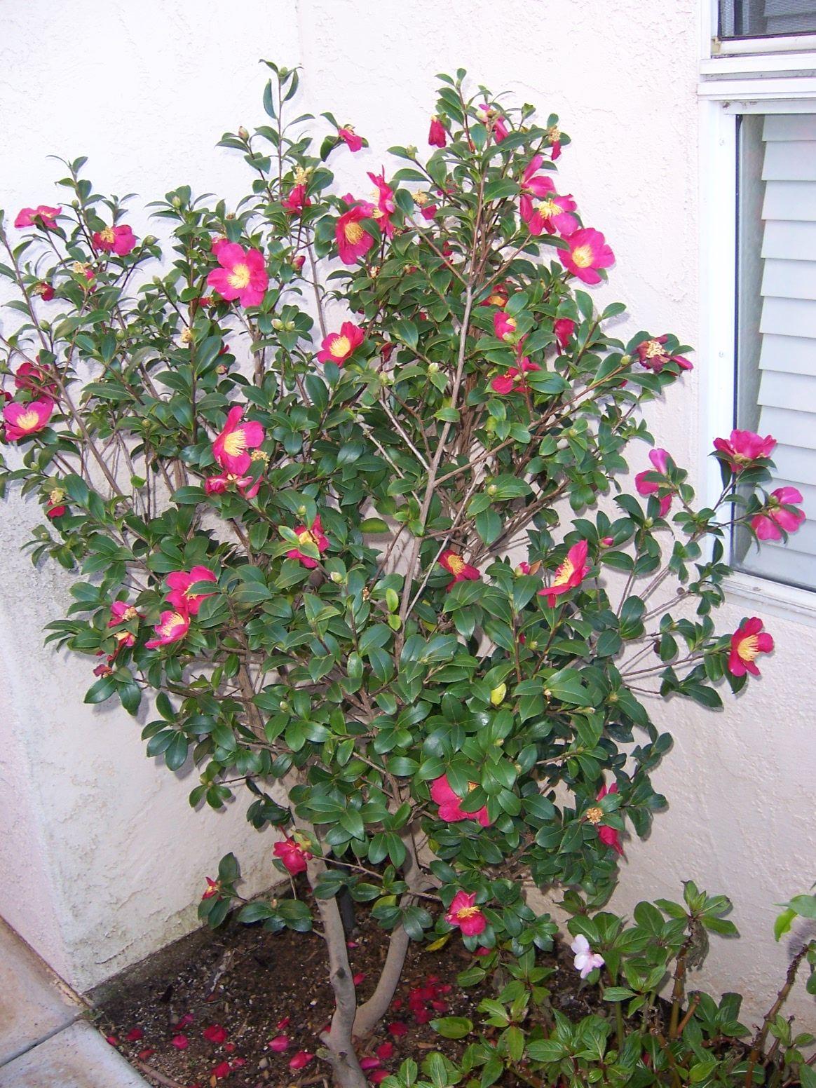 Camellia specimen fiddlers bend landscape - Camelia planta ...