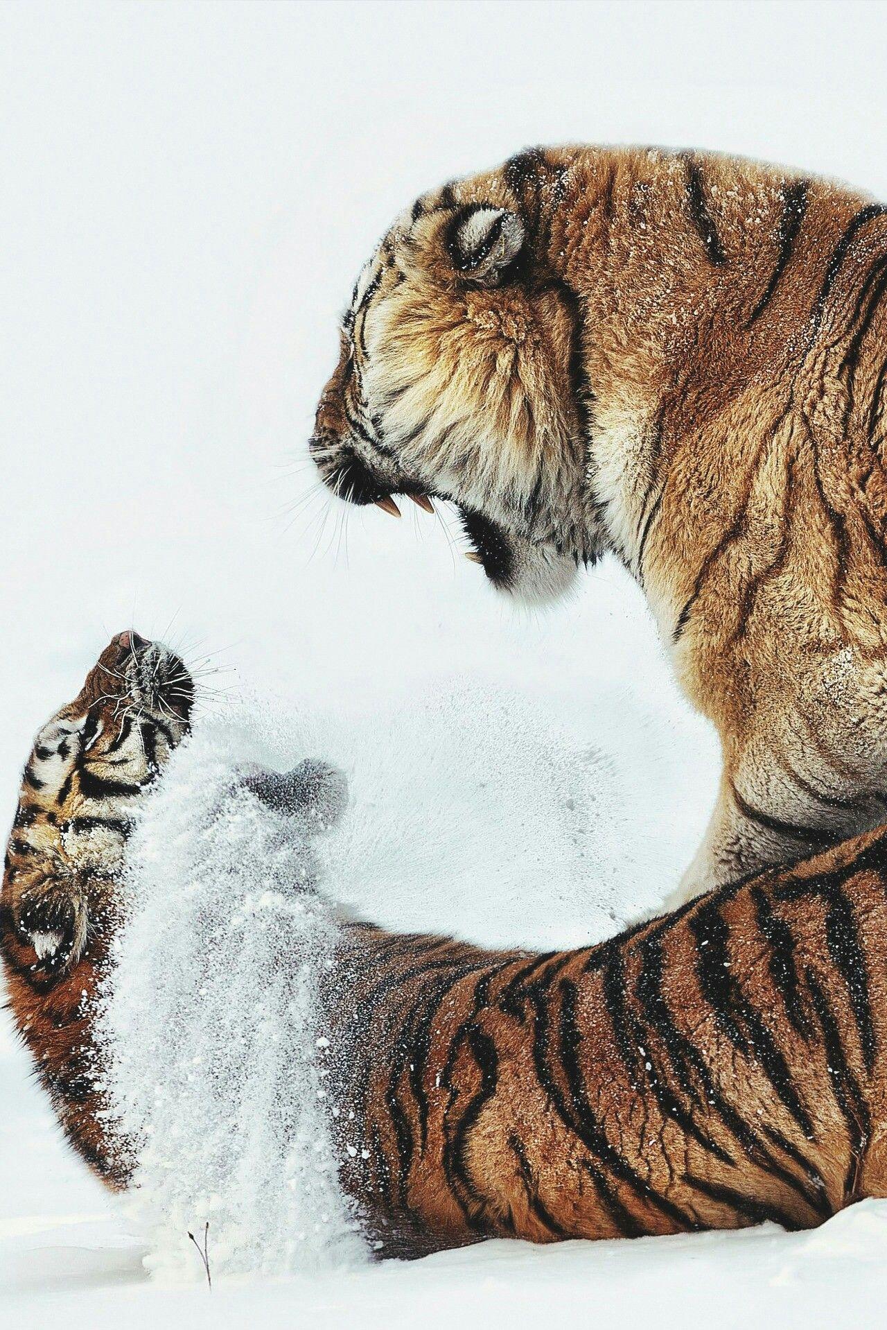 Siberian Tiger fight Animals Pinterest Cats, Animals