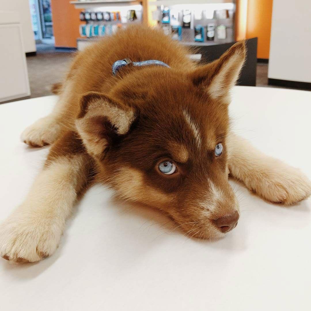 An Actual Teddy Bear Wolf Juneau Chocolate Husky Mix Puppy Came
